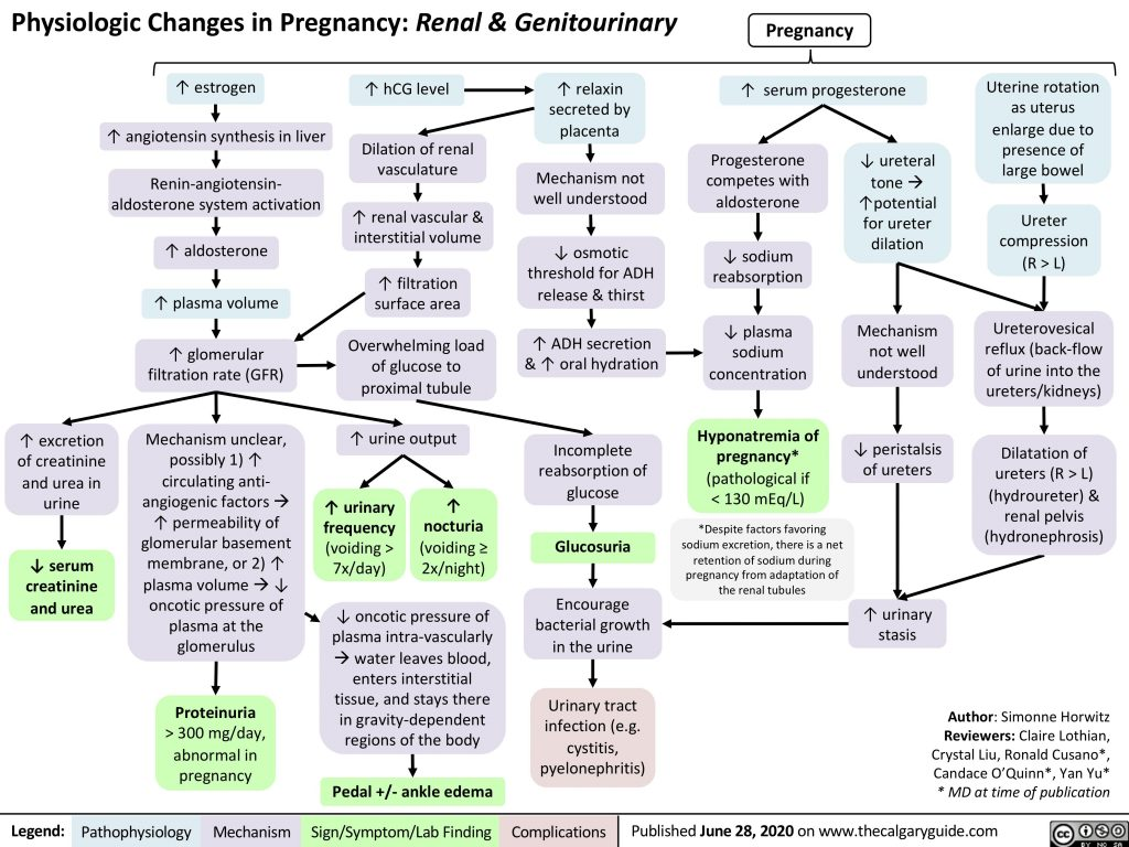 Physiologic Changes in Pregnancy: Renal & Genitourinary